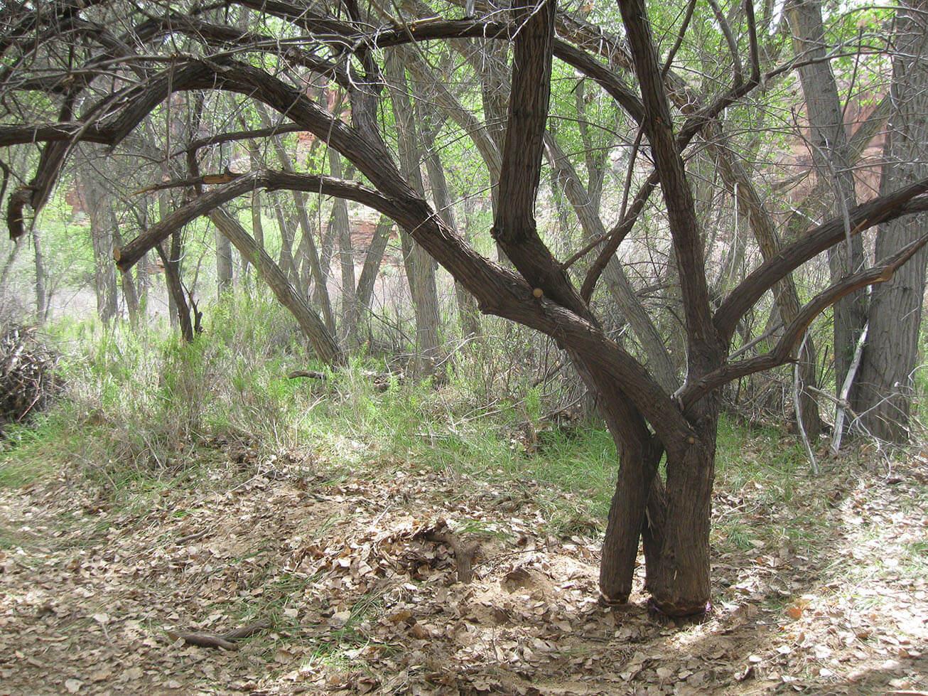 Escalante River Restoration