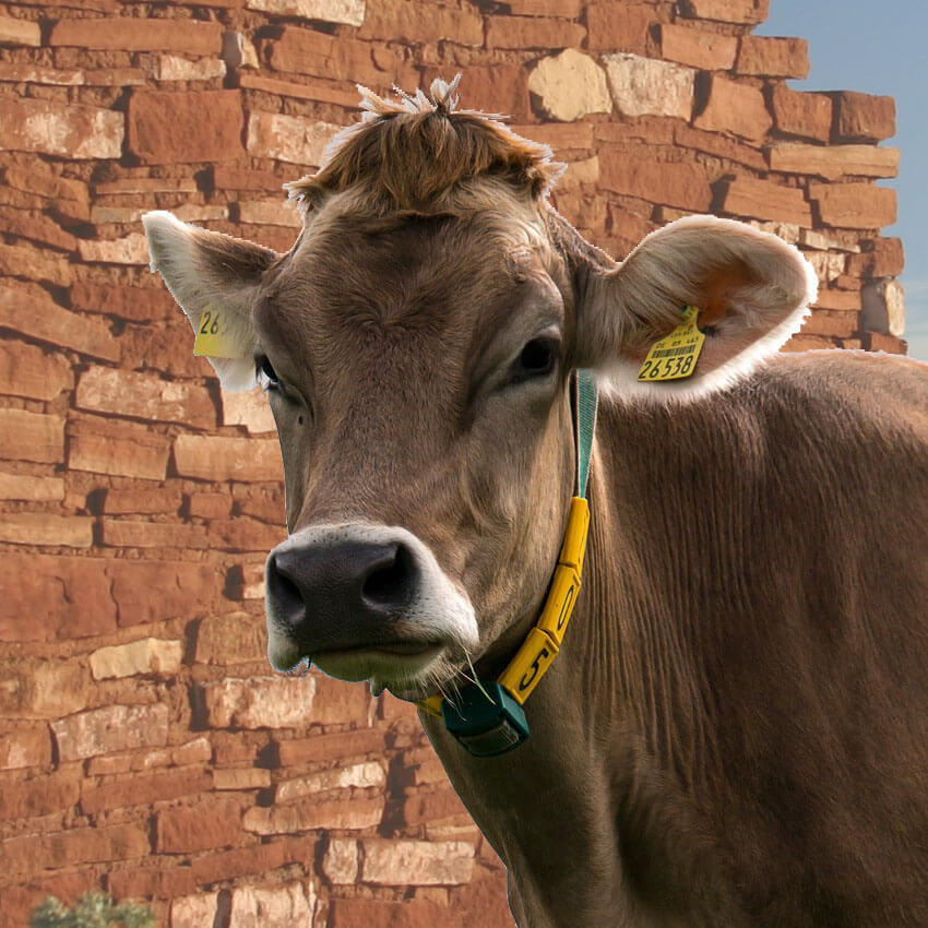 canm cow