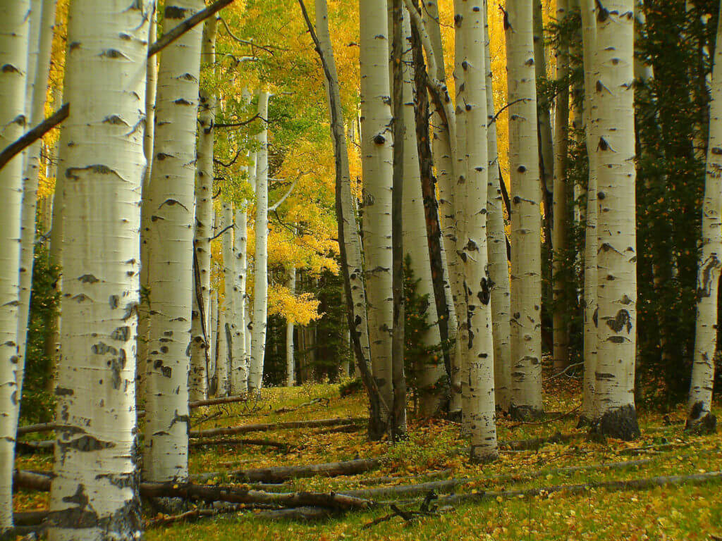 aspen tree leaves turning bright yellow
