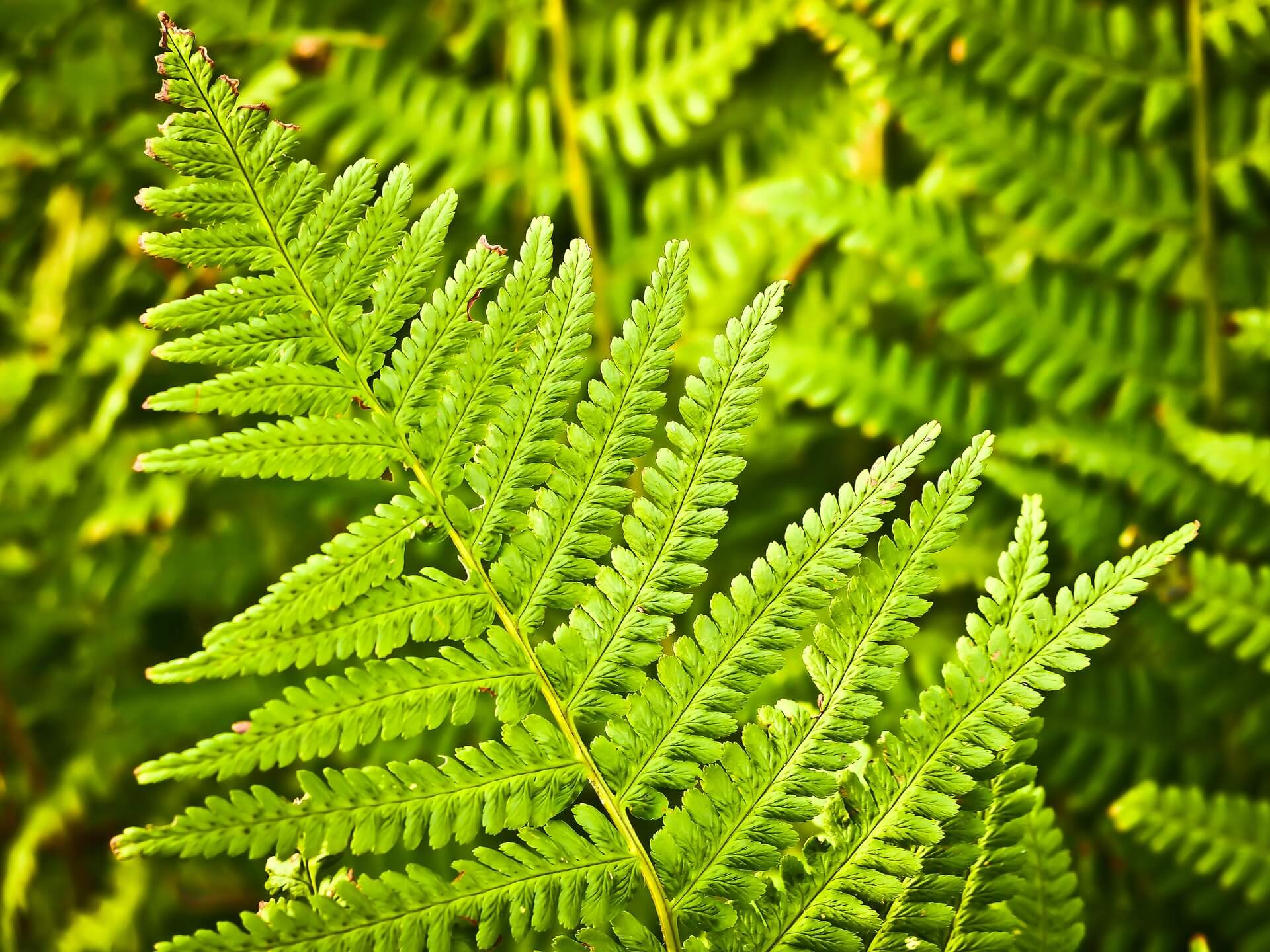 An upclose picture of fern fronds