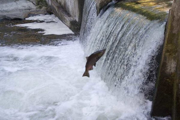 A salmon swimming upstream trying to jump over a small dam